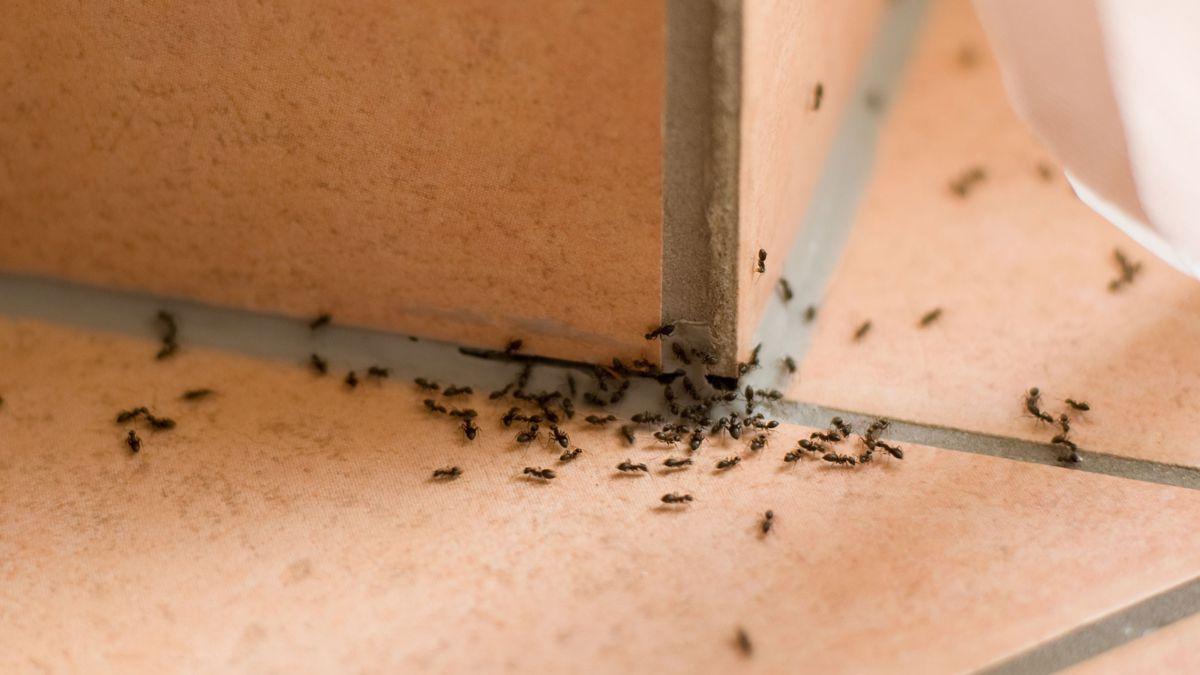 5 conseils pour se débarrasser des fourmis dans votre maison